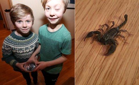 EKSOTISK BESØK: Åtteåringene Vilhelm og Toralf fant andre lørdag en skorpion på stuegulvet hjemme på Solligården. Svært sjeldent, mener eksperten. Foto: Andreas B. Høyer og privat.