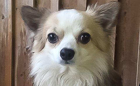 Nurk uten eier: Ingen vil ha denne lille chihuahuaen, som ble funnet i sentrum for halvannen uke siden.