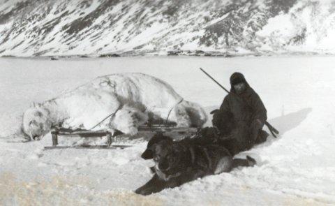 HUNDER: Fangstparet fikk hjelp av et hundespann til å frakte de store dyrene tilbake til fangsthytta. Foto: Svalbard museum