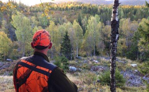 Elgjakt til leie: I fjor kom det 10 bud på elgjaktområdet som Hjartdal kommune leier ut. Til slutt var det et jaktlag fra Notodden som vant budrunden. ILLUSTRASJONSFOTO FRA Elgjakt PÅ Tåråfjell