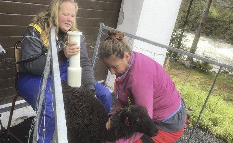 Ingen nedforing her: Anne Karlsdatter holder sauen, mens Jorunn Elise Veflen måler dyret. (Foto: privat)