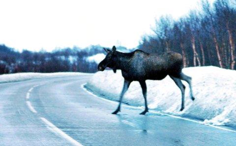 Elg i spranget over veien. (illustrasjonsfoto: Mareno Leonhardsen)