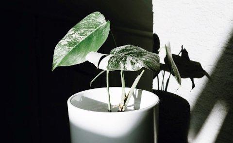 POPULÆR OG DYR: Denne planten blir seld for fleire tusen kroner, og stiklingar blir selde på Finn for bortimot tusenlappen. Då Hageland Egersund tok inn planten for to år sidan, kosta han bare 100 kroner.