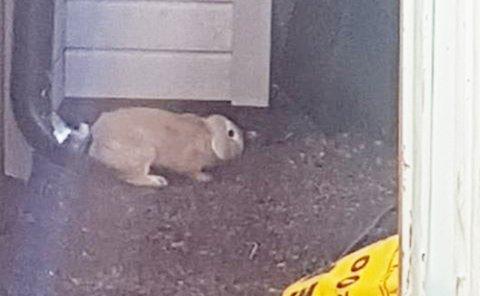 En kanin er ute på egenhånd langs kyststien nedenfor Backergate.