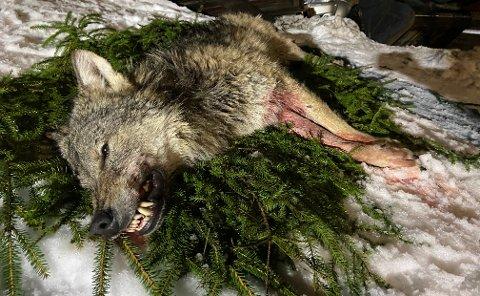 Denne hannulven ble skutt 22. januar. DNA-prøver viser at den ikke tilhørte Aurskog-reviret. Det gjorde heller ikke tispa som ble skutt 23. januar.
