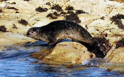 Også i år er fellingskvoten for steinkobbe fastsatt til 25 dyr her i fylket. Arkivfoto: Nils Aukan