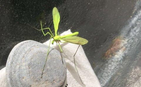 Jan Harald Finstad er sikker på hva slags insekt dette dreier seg om. Men vet ikke hvor fargen kommer fra.