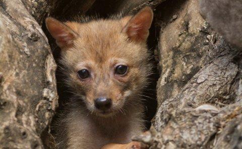 (Bilde 3) Denne ungen er en gullsjakal, og ikke en ulv. (FOTO: NTB)    FOTO:  / PSI