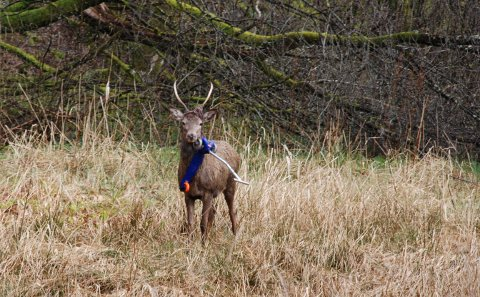 Mandag ettermiddag var hjorten tilbake, fortsatt med sparkesykkelen hengende fast.