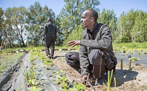 Abdirashid Abdi Mohamed fra Somalia  sjekker her jordbærplantene på Månegartneriet - i sitt hjemland var han en kjent popsanger. Men den militante islamistiske gruppa Boko Haram, som slår hardt ned på alt som kan minne om vestlig kultur, fikk ham til å flykte.