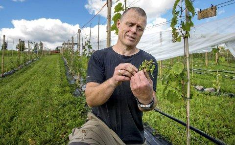 SOLHELLING: I solhellinga i Lausgarda skal vinrankene få vokse i fire år til før vinbonde Haavard Haktor Holstad kan prøve seg på vinproduksjon.Foto: Brynjar Eidstuen