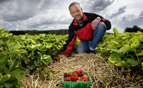 Fine bær: Dette bildet er tatt et tidligere år, men Bjørn Skjeltorp kan snart se ned på like mange modne bær. Om en ukes tid er trolig sesongen i gang for fullt. foto: johhny helgesen
