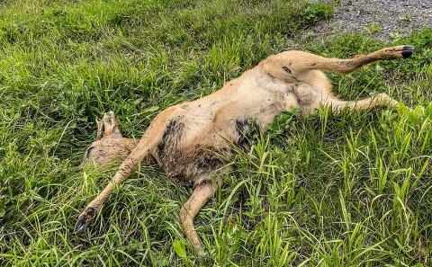 ANMELDT: Det er nå levert inn to anmeldelser på måten et rådyr ble avlivet på i september. Dyret på bildet ble påkjørt og drept i en annen hendelse.