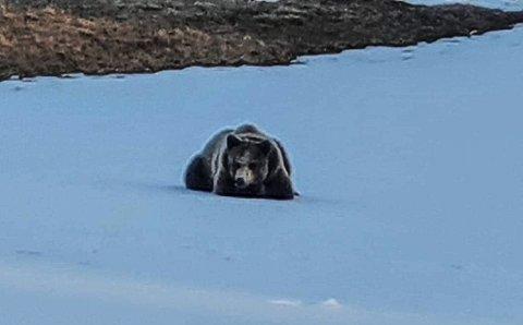 Bjørn på besøk i Djupsjølia utenfor Røros.