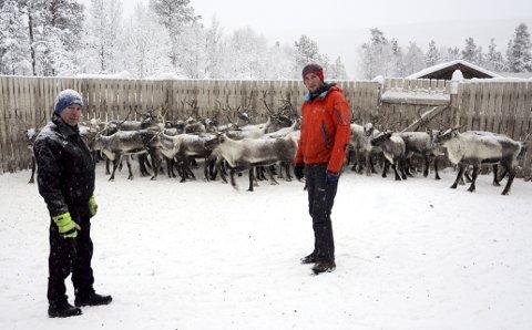 Slaktetid: Tamreinlagsformann Pål Grev og gjetar Ola Vaagaasarøygard blant rein ved Fuglesæter.Foto: Ketil Sandviken