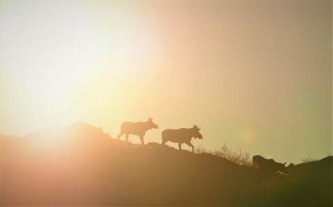 Storviltjegere hos Statskog tar ut over 200 tonn prima viltkjøtt i løpet av høsten.
