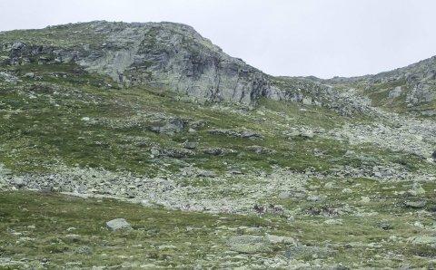 Villmark: Reinflokk på vei mot Møyfallsnuten, Flokken ses midt i bildet. I tillegg kom det fem-seks etternølere som baktropp. Foto: Ronny Ø. Eide