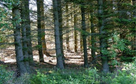 Det var en av mange sitkagranskoger på Dønna som ble gjenstand for ulovlig hogst for drøyt to år siden.