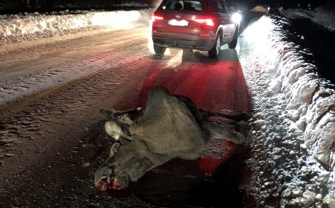 HER ENDTE FERDEN: En elg ble avlivet på fylkesvei 40 i Uvdal fredag kveld. Den hadde skadet seg på isen og kom seg ikke videre.