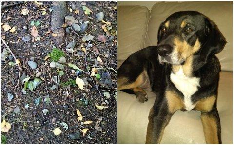 UROVEKKENDE FUNN: I skogen ved Balaklava måtte turgåere plukke opp farlig avfall slik at ikke hunden Bono skulle skade seg.