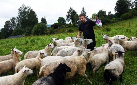 DSC_2235.JPG PÅ BEITE: Sauer som likte seg spesielt godt i hager i Fall står nå innegjrds på egnet beite. Alexander Aasbekken har selv hentet mange av dem i Fall.
