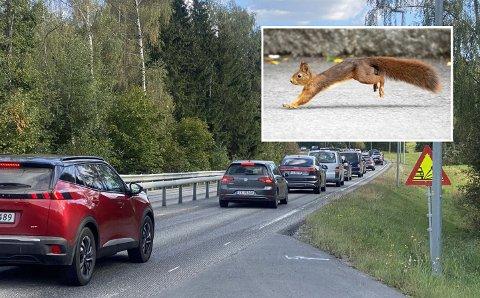 VILLE OVER VEIEN: To personer måtte oppsøke legevekt etter at ekorn krysset veien ved Biristrand søndag ettermiddag.