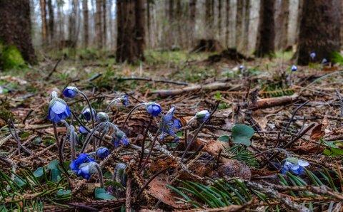 VÅRTEGN PÅ YXNEY: Dette bildet ble tatt av Tore Ringdal 12. februar.