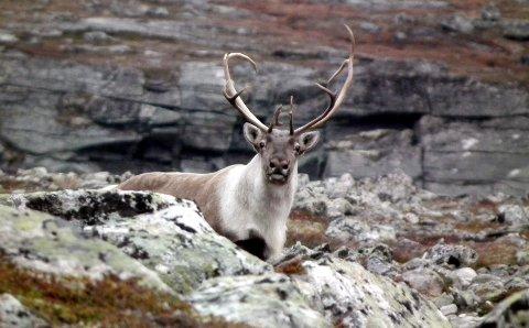 Sunndal fjellstyre har nå trukket ut 111 heldige jegere som får jaktkort på villrein i statens del av Sunndalsfjella til høsten, men bare noen få av dem kan skyte storbukk slik vi ser på bildet. Foto: Per Skotvedt