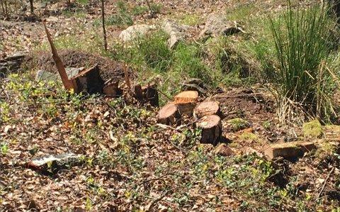TRÆRNE VAR BORTE: Det er bare stubbene igjen av en del av trærne som sto på den private hytteeiendommen ved Enhuskilen. Nå får hytteeieren erstatning.