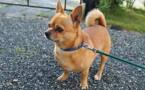 FORSVANT: Den sju år gamle hunden forsvant fra Gardermoen i juli. Nå avsluttes søket.