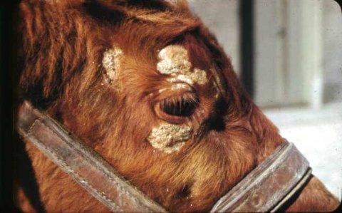 Denne kua viser tydelige symptomer på ringorm.