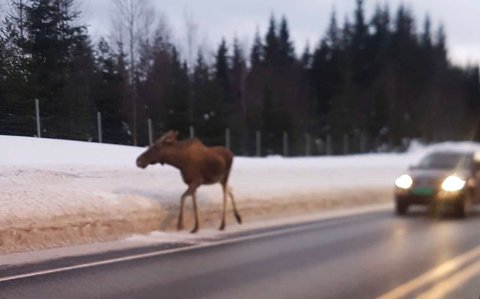 TREKKER NED: Elg og annet vilt trekker mot ferdselsårer og politiet i Innlandet ber bilister være oppmerksomme langs vegene i Innlandet.