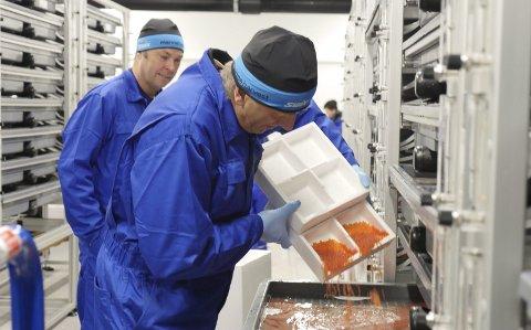 De første eggene: I går var produksjonen i gang på smoltanlegget i Fjæra. Driftstekniker Atle Drangevåg tømmer eggene i «skuffen». Driftsleder Lars Håkon Sandvold (bak).Foto: Marine Harvest