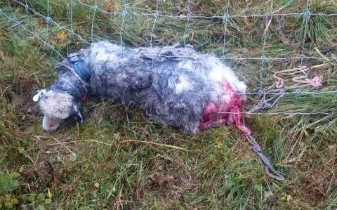 Død: En sau ble funnet drept og to måtte avlives etter at hund kom inn i innhegningen på Flyum gård i Grane. Foto: Einar Bekkevold