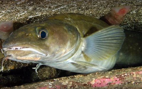 Lange er ein av fiskeartane frå Hardangerfjorden du ikkje bør ha på middagstallerkenen.