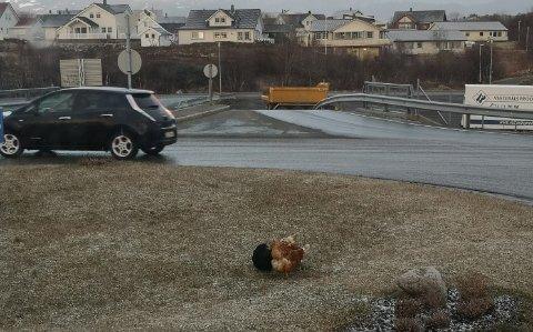 På vift: Flere høns var onsdag kveld på vift i en rundkjøring på Leknes.