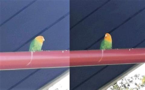 TO KAMERATER: To gule og grønne fugler funnet ved Vearhallen, kjenner du dem igjen?