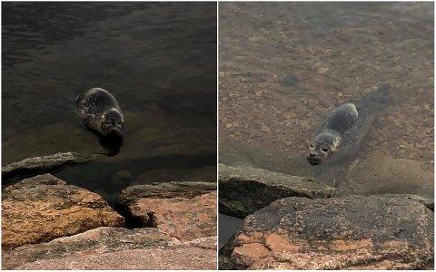 SEL: Denne steinkobba tok livet med ro ved Engersand Havn lørdag.
