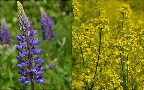SVARTELISTA: Hagelupiner og russekål er to av totalt 135 planter på det som tidligere ble kalt svartelista.