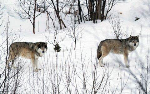 Enebakk kommune har fått penger til konfliktdempende tiltak mot ulv, men mindre enn tidligere år.