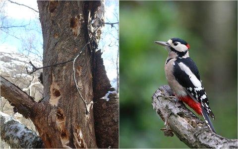 AKTIV: Bildet av treet avslører at hakkespetten har vært svært aktiv i Eiterdalen.