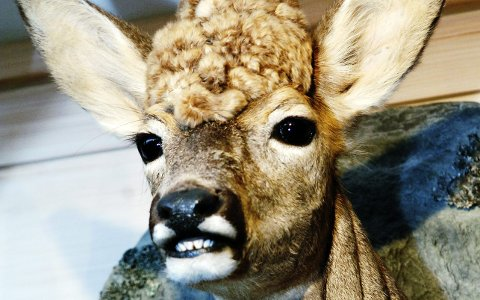 BARE HALVPARTEN: Statistikken viser at grunneierne i Horten kommune  bare skyter halvparten av de dyrene de får lov til å felle.ARKIVFOTO