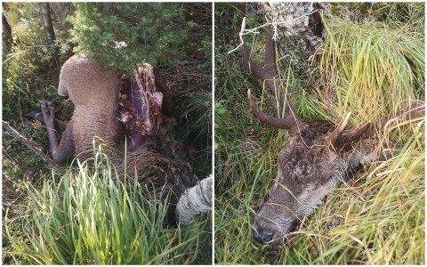 Slik fant Duncan Sharp hjorten da han var på tur i Madlansheiene i oktober.