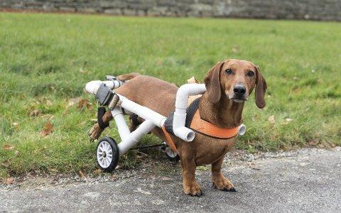For to år sidan fekk dachsen Armin trøbbel med ryggen. Operasjon hjelpte ikkje, og no køyrer hunden, med heimeadresse Kinsarvik, rullestol.