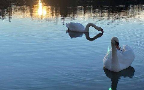 SKADET: I alle fall siden lille julaften har svanen svømt rundt med en fiskekrok i ansiktet.