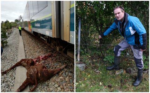 ULUKKE: Biletet til venstre viser synet som møtte bonde Rune Moi på Vatnamot 9. mai i år. Tre kviger vart påkøyrde.