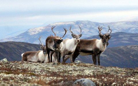 JAKT: Ifølge Miljødirektoratet vil antallet villrein felt på Hardangervidda bli omtrent som i fjor.