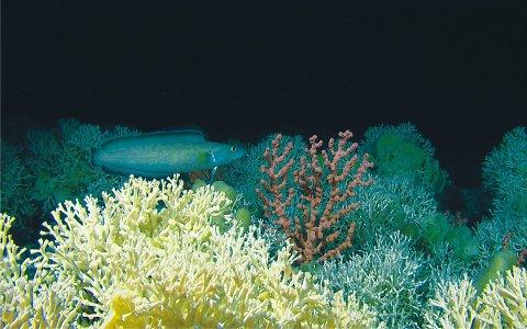En brosme svømmer over koraller og svamper