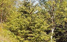Fremmed: Miljødirektoratet mener lutzgran kan spre seg til trua naturtyper, og sier nei til utplanting 2500 trær på Vestvågøy.