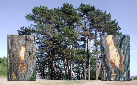HAR FÅTT SKADER: Noen har gjort skadeverk på de fredede svartfurutrærne i Skråvika.